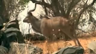 Documental de Leones   Leones vs Búfalos   Enemigos Intimos   National Geographic