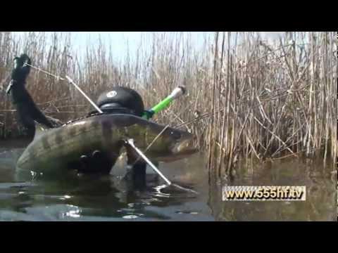 Охота на судака и сазана