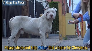 Homeless and abused, this Pit Bull didn't lose HOPE that something amazing will happen!