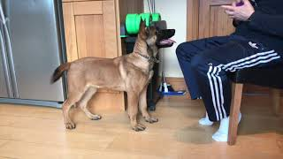 Malinois Manús at 4 months old in training.#amtrainingkennels