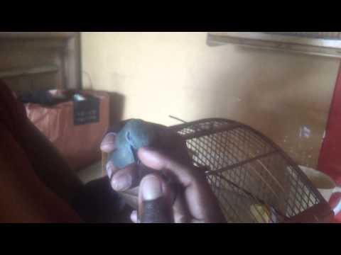 Baixar sanhaço coqueiro tuitui do nenem cantando na mão (chaves)