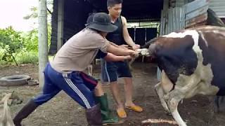Cận cảnh đỡ đẻ cho bò sữa, theo cách của người VIỆT NAM