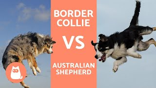 Border Collie vs Australian Shepherd - What are the DIFFERENCES?