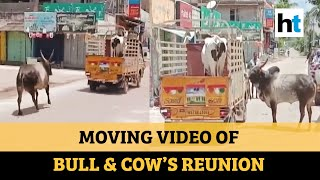 Bull refuses to be separated from cow, video goes viral..
