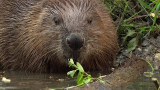 Beavers in Munich, Beaver Babies in Lodge