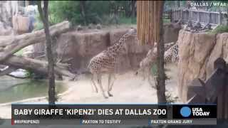 Baby giraffe dies at Dallas Zoo after breaking neck