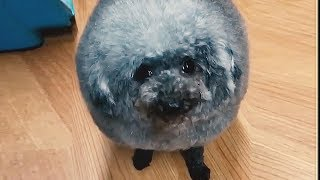 Fluffy floof - The ultimate funny dog compilation [ EXTRA FLUFFY EDITION ]