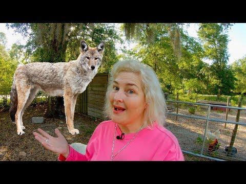 Defending My Chicken Coop From Coyotes