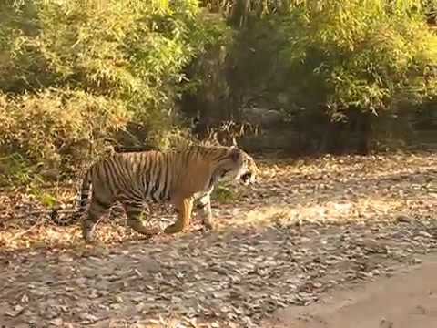 Tiger Safari in Bandhavgarh | MP | India