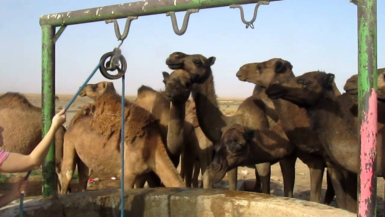 Thirsty Camels in Merzouga, Morocco - YouTube