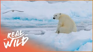 In Isolation With Polar Bears [Polar Bear Documentary] | Real Wild