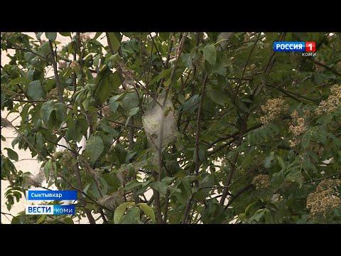 Горностаевая моль уничтожает деревья черёмухи