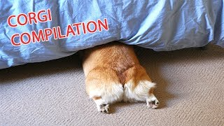 Funny and Cute Corgi Compilation | Best Funny Corgi Videos
