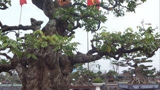Quá bất ngờ một phụ nữ trả 11 tỷ cây này - very beautiful bonsai at bonsai exhibition