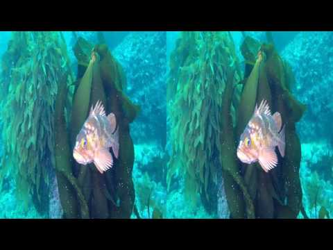 Dive 441: Wandering Under Point Lobos Kelp YT3D by Wayne Grabowski