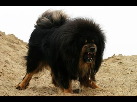Police Shoot Dead Giant Tibetan Mastiff That Attacked