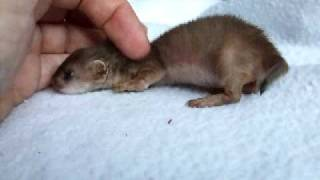 Orphaned baby stoat about 5 wks old - 3rd vid