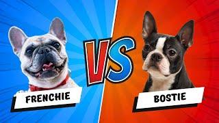 French Bulldog vs. Boston Terrier Which is Better? Dog vs. Dog
