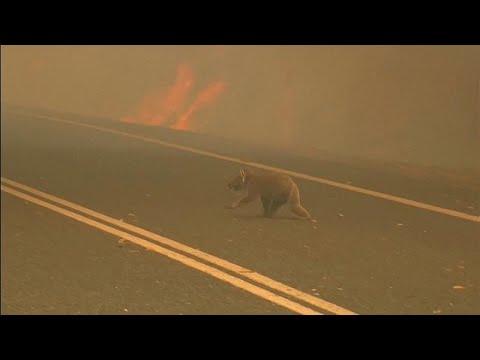 Les koalas, premières victimes des feux de brousse australiens