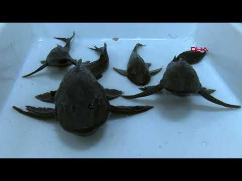 Eskişehir'de sulara bırakılan akvaryum balıkları tehlike saçıyor