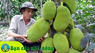 Kinh nghiệm, kỹ thuật trồng và chăm sóc mít Thái Lan đạt hiệu quả cao