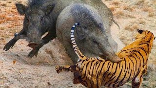 LIVE: Wild Animals Discovery - Tiger Despises Power of Warthog and Receives Disastrous Defeat