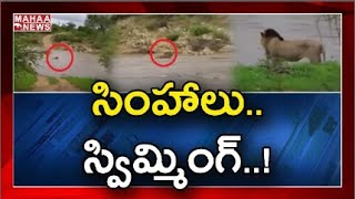Video of 3 lions swimming across the river in Gir forest g..