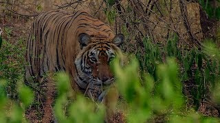Deer Escapes Tiger! | BBC Earth