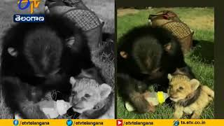 Viral Video: A Chimp feeding milk to a Lion cub & kiss..