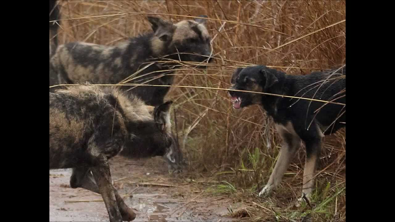 Wild Dogs With Rabies Vs Dog Top Ten10 Animal Youtube