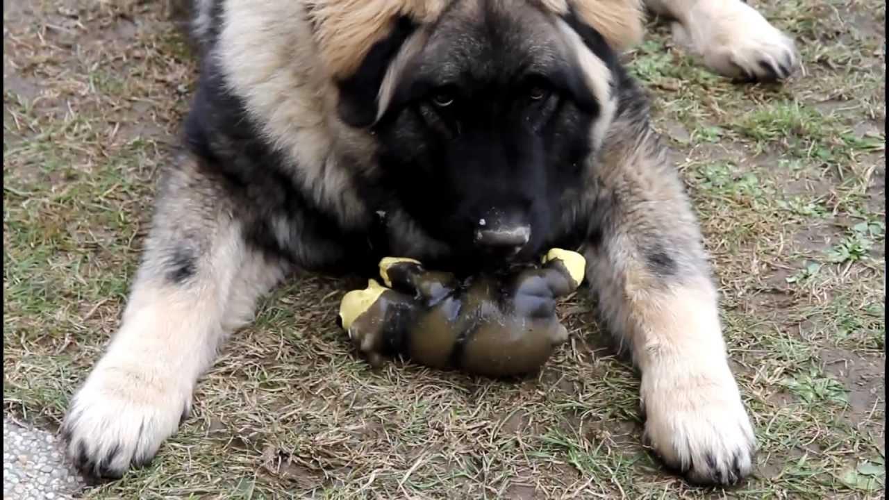 Russian Caucasian Mountain Dog Attack