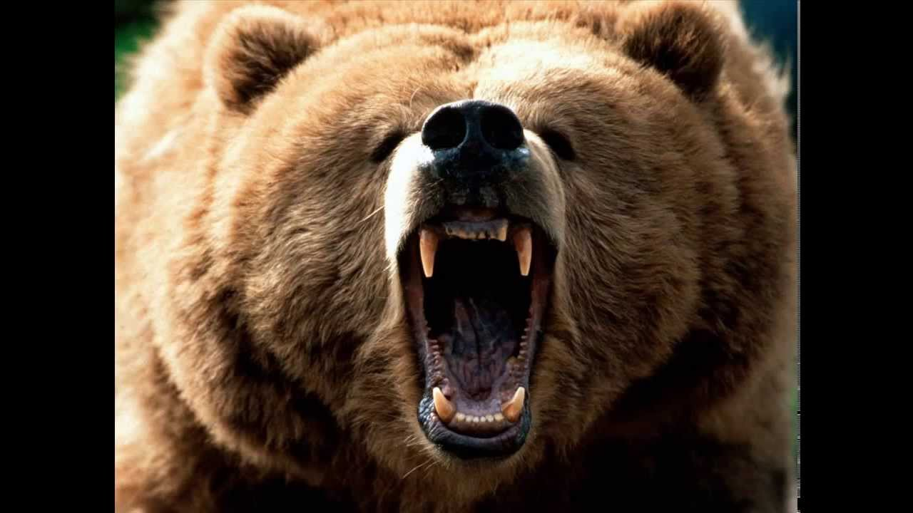 Grizzly Bear Sound Effect - YouTube