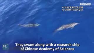 Khung cảnh đàn cá heo bơi lội ngoạn mục tại Hải Nam, Trung Quốc