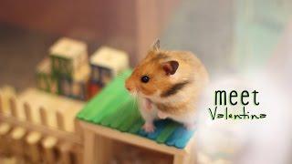 Cute Golden Hamster (Syrian Hamster)