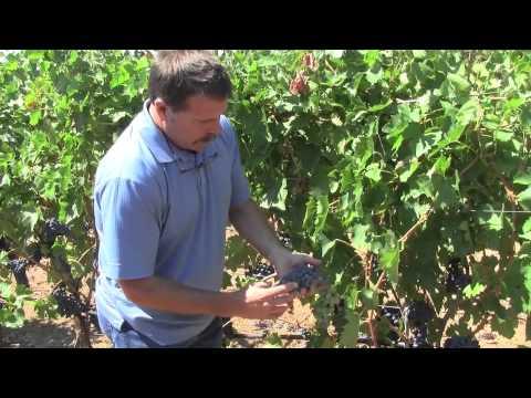 Upper Ridge Sangiovese Harvest Update 2014