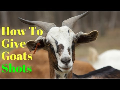 How to Give Medication to Goats