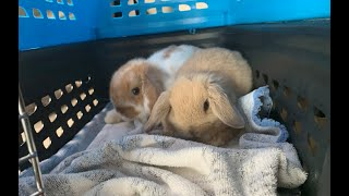 GETTING TWO BUNNIES | VLOG