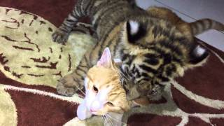 Tiger and cat not so different