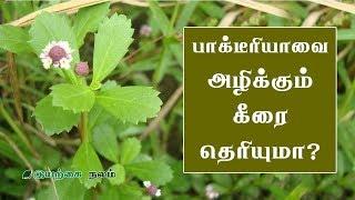 Grow Gopuram Thangi herb at your Garden   Stop Hair Loss