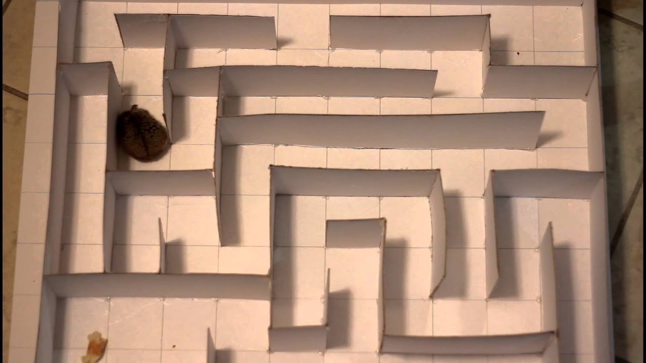 Hamster Through The Maze Youtube