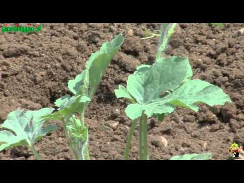 Come coltivare una pianta d 39 ananas a costo zero musica for Coltivare meloni