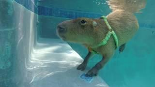 JoeJoe the Swimming Capybara