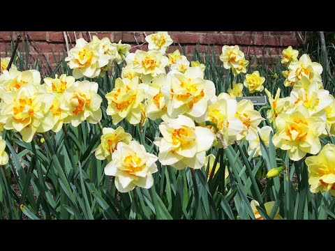 screenshot of youtube video titled Daffodils and Narcissus