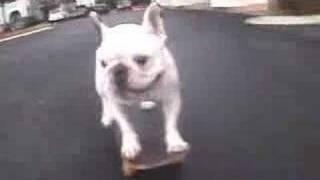 Bulldog francés que hace skate