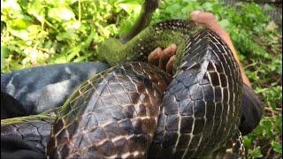 Vlog 69 :Bẩy Rắn Dính Hổ Vện Khủng Trâu già Lâu Năm Gần3kí  #Youtubelãngtử