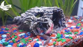 Sleep Music | Aquarium Fish | Khuli Loaches | Corydoras | Pink Zebra | Green Neon Zebra