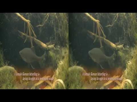 [Korea3DShowcase2013] Acheilognathus Signifer's Love 3D by UBC