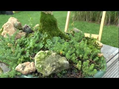 video bonsai buxus sempervirens arborescens buchsbaum. Black Bedroom Furniture Sets. Home Design Ideas