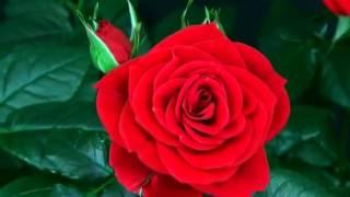Quá trình nở hoa hồng tuyệt đẹp