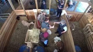 Poppy Delivers Doeling - Goat lives Birth with vet assistance